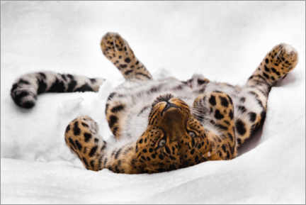 Premiumposter Far Eastern leopard lying in the snow
