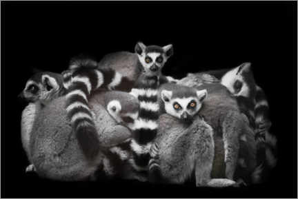 Premiumposter Ring-tailed lemurs sleep in a bunch