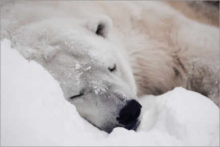 Premiumposter Polar bear sleeping comfortably in the snow