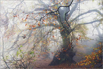 Galleritryck  Big beech tree with autumn colors in the fog in England - The Wandering Soul
