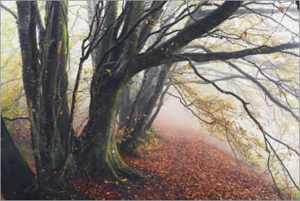 Premiumposter Wondrous beeches in autumn and fog in England