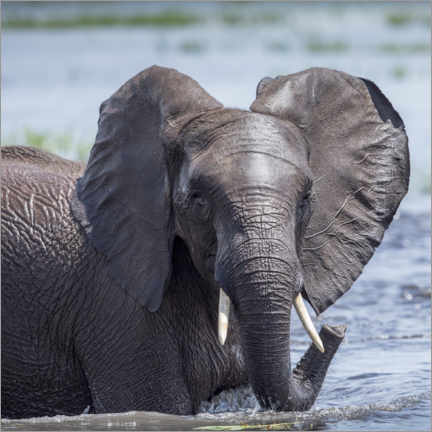 Premiumposter Elephant in the water