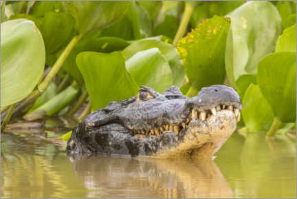 Premiumposter Caiman in the water