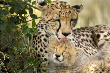 Canvastavla  Cat washing with the cheetahs - Jaynes Gallery