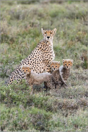 Canvastavla  Cheetah mother with cubs - Jaynes Gallery