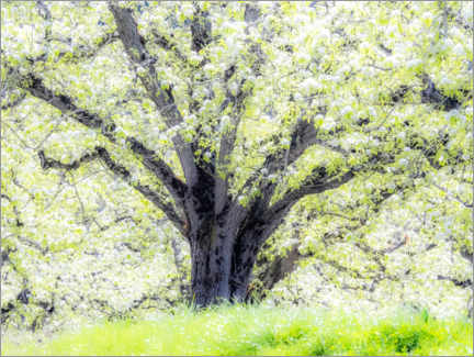 Trätavla  Spring blooming apple tree - Sylvia Gulin