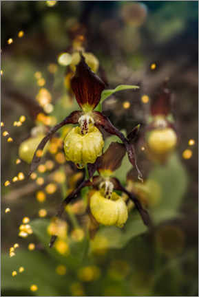 Canvastavla  Enchanted orchid, the lady's slipper - Fotomagie