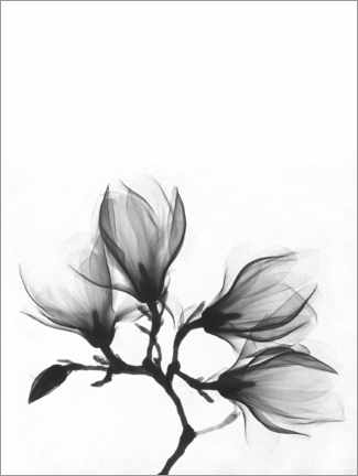 PVC-tavla  X-ray image of a magnolia - Wunderkammer Collection