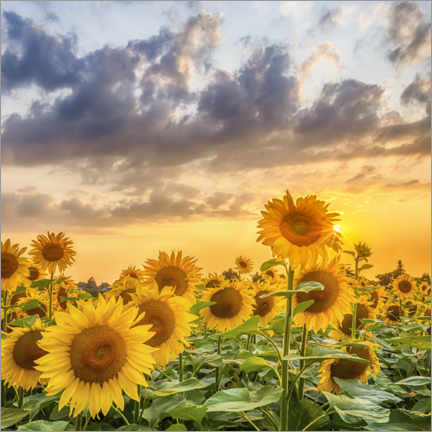 Premiumposter Sunflowers in the evening