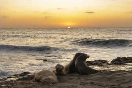 Premiumposter  Sea lions on the Pacific with the setting sun - Sheila Haddad