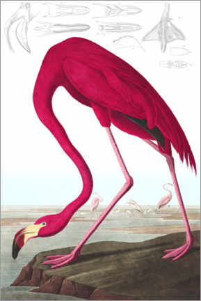 Akrylglastavla  Karibflamingo, The Birds of America - John James Audubon