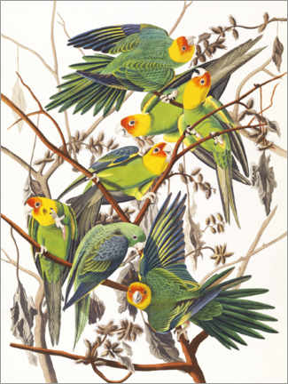 Canvastavla  Parakeets - John James Audubon