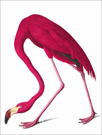 Canvastavla  Cuba flamingo - John James Audubon