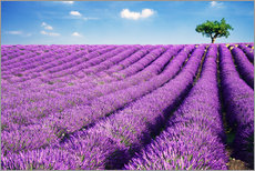 Galleritryck  Lavender field and tree - Matteo Colombo