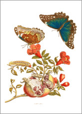 Premiumposter  Pomegranate and Menelaus Blue Morpho Butterfly - Maria Sibylla Merian