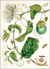 Galleritryck  Passion flower and insects - Maria Sibylla Merian