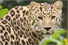 Galleritryck  Amur leopard - Power and Syred