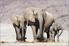 Galleritryck  African elephants - Tony Camacho