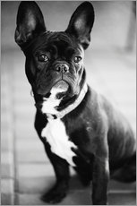 Galleritryck  French Bulldog - Falko Follert