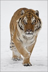 Självhäftande poster  Siberian Tiger in the snow - James Hager