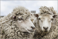 Galleritryck  Sheep waiting to be shorn, Falkland Islands - Michael Nolan