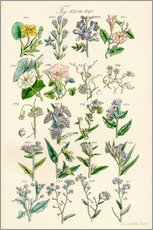 Galleritryck  Wildflowers - Sowerby Collection