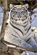Galleritryck  White Bengal Tiger - Chad Coombs