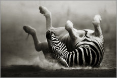 Galleritryck  Zebra rolling upside down on dusty desert sand - Johan Swanepoel
