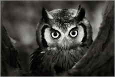 Galleritryck  White-faced Owl perched in a tree - Johan Swanepoel