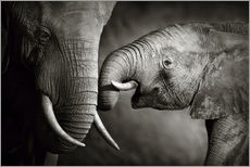 Galleritryck  Baby elephant interacting with Mother - Johan Swanepoel