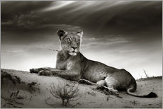 Galleritryck  Lioness resting on top of a sand dune - Johan Swanepoel