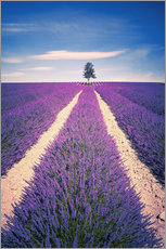 Galleritryck  Lavender field with tree in Provence, France