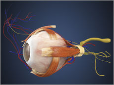 Galleritryck  Human eye with muscles and circulatory system.