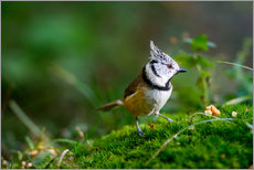 Galleritryck  Cute tit standing on the forest ground - Peter Wey