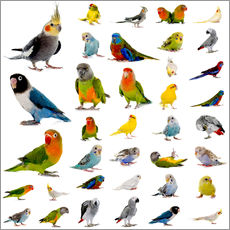 Galleritryck  Parrots and parakeets