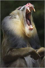 Självhäftande poster  Mandrill with open mouth - Andreas Keil