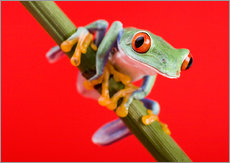 Galleritryck  Tree frog on red