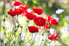 Galleritryck  Red poppies on a sunny day