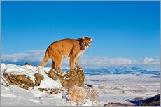 Galleritryck  Puma standing on rock in snow, Rocky Mountains - FLPA