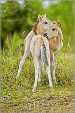 Galleritryck  Konik, wild horse, two foals playing