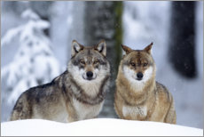 Galleritryck  Wolves in the snow - age fotostock