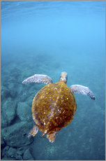 Galleritryck  Floating galapago turtle - Pete Oxford