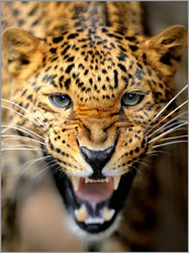 Canvastavla  Fuming Leopard
