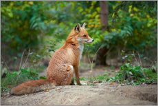 Canvastavla  Portrait of a red fox
