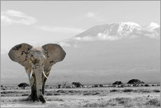Premiumposter An elephant in front of Kilimanjaro