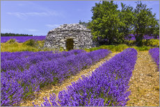 Premiumposter Stone hut in the lavender field