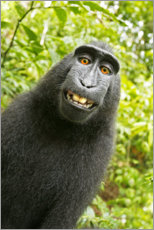 Canvastavla  Monkey Selfie II - David Slater