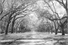 Galleritryck  Oak Avenue i Wormsloe, USA