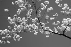 PVC-tavla  Cherry blossom in black and white