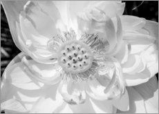 Akrylglastavla  Lotus flower in black and white